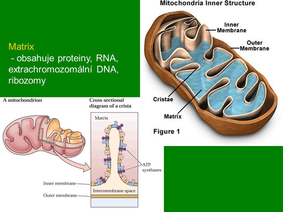 Matrix - obsahuje proteiny, RNA, extrachromozomální DNA, ribozomy