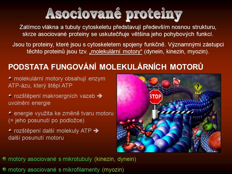 Asociované proteiny PODSTATA FUNGOVÁNÍ MOLEKULÁRNÍCH MOTORŮ