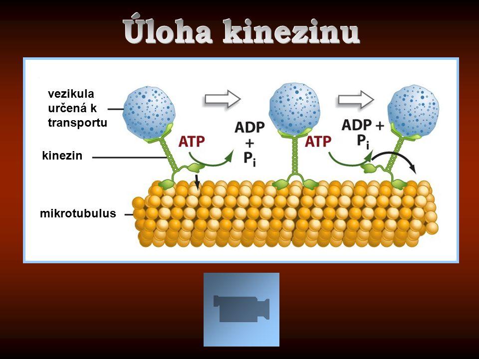 Úloha kinezinu vezikula určená k transportu kinezin mikrotubulus