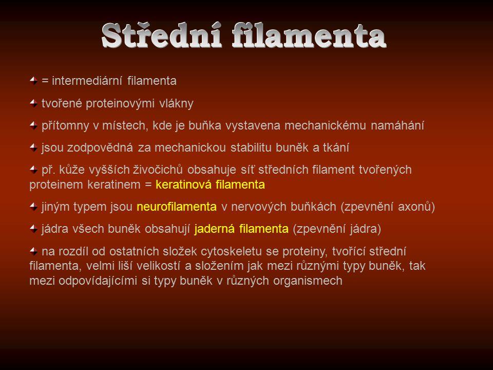 Střední filamenta = intermediární filamenta
