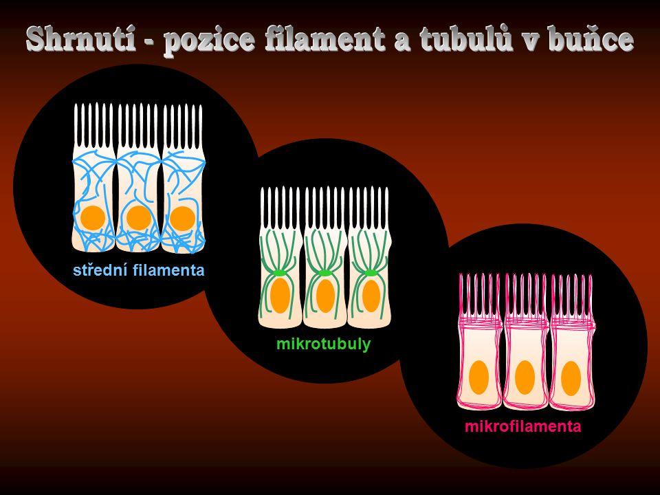 Shrnutí - pozice filament a tubulů v buňce