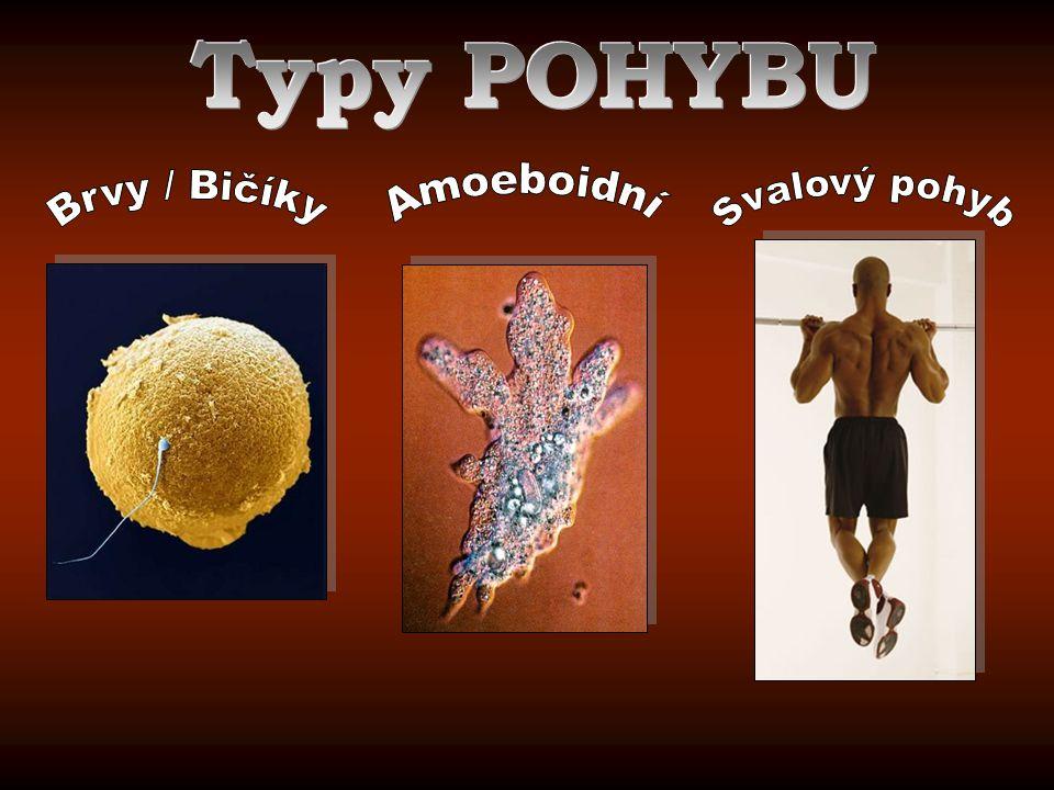 Typy POHYBU Amoeboidní Svalový pohyb Brvy / Bičíky