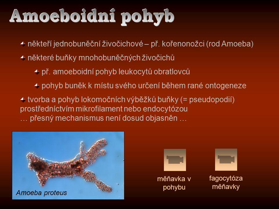 Amoeboidní pohyb někteří jednobuněční živočichové – př. kořenonožci (rod Amoeba) některé buňky mnohobuněčných živočichů.