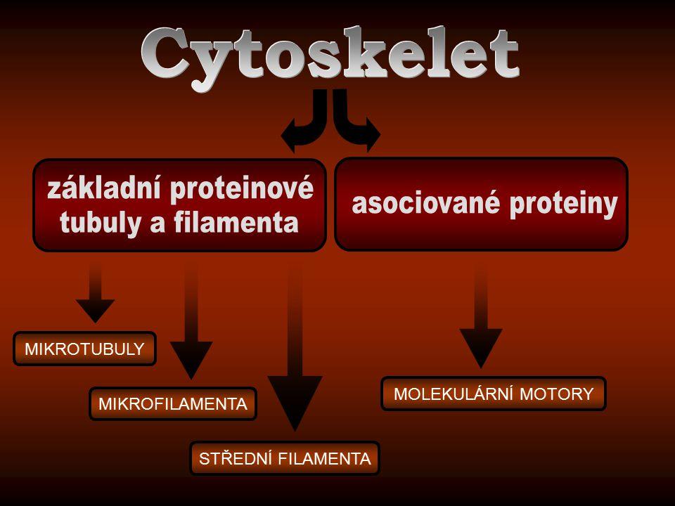 Cytoskelet základní proteinové asociované proteiny tubuly a filamenta