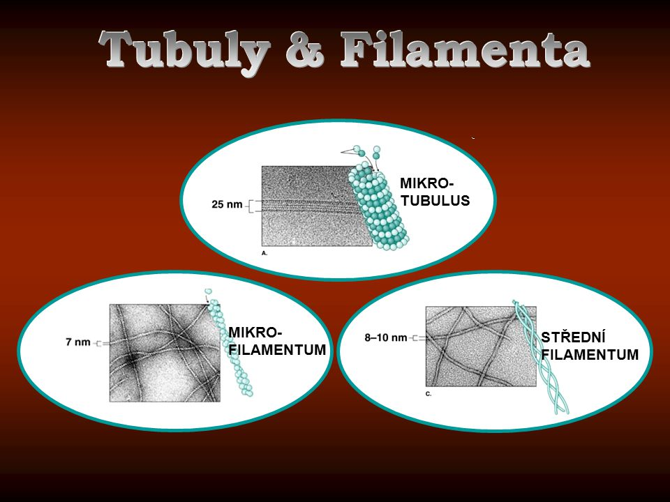 Tubuly & Filamenta MIKRO-TUBULUS MIKRO-FILAMENTUM STŘEDNÍ FILAMENTUM
