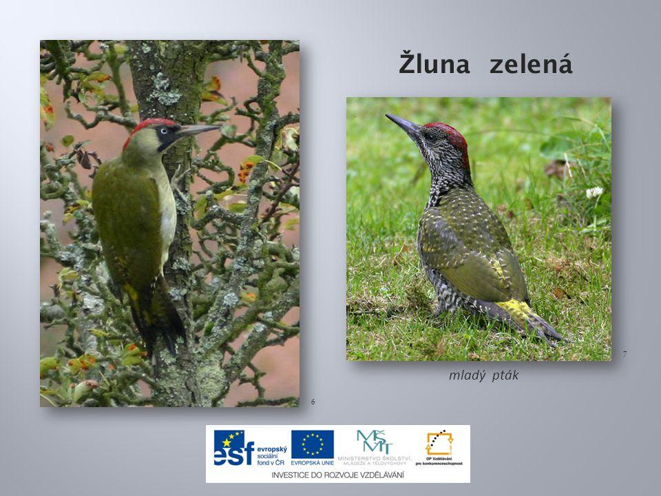 Žluna zelená 7 mladý pták 6