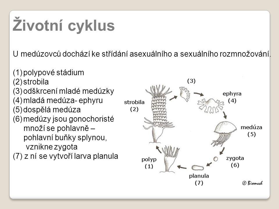 Životní cyklus U medúzovců dochází ke střídání asexuálního a sexuálního rozmnožování. polypové stádium.