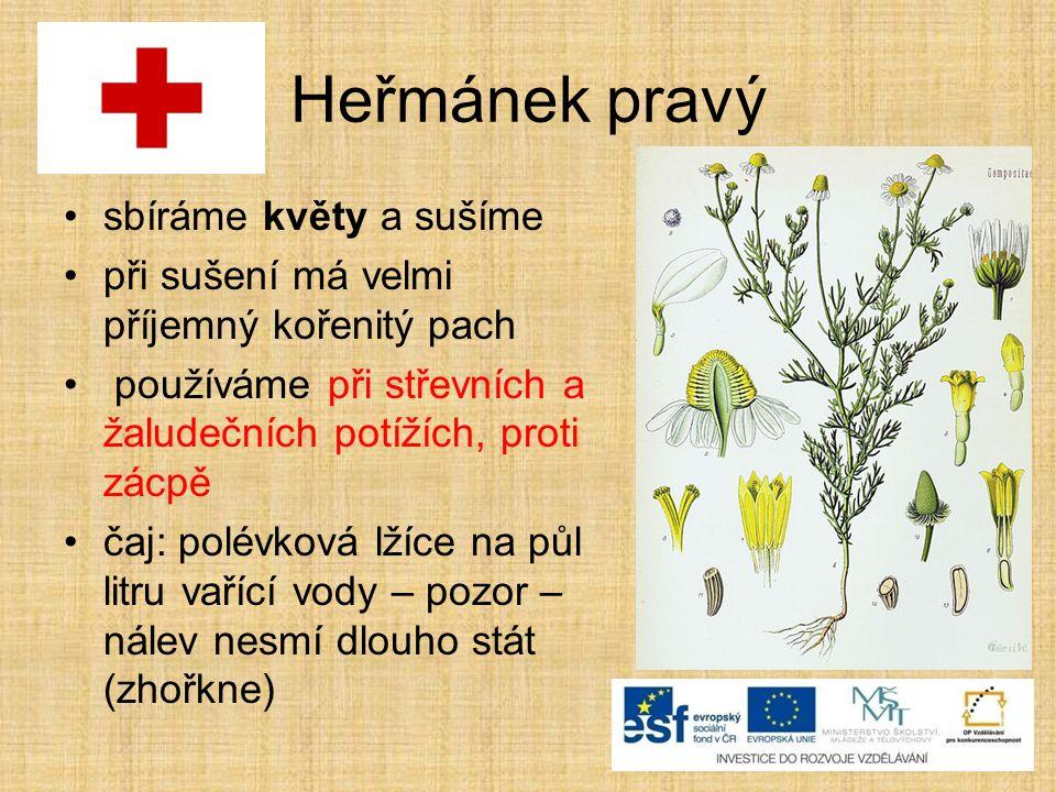 Heřmánek pravý sbíráme květy a sušíme