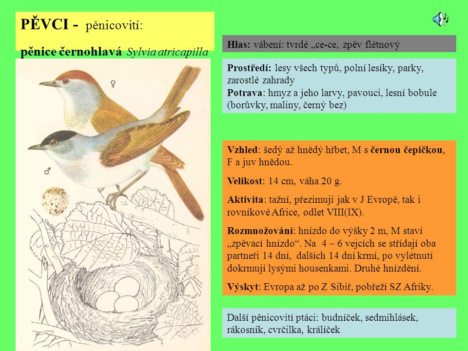 PĚVCI - pěnicovití: pěnice černohlavá Sylvia atricapilla