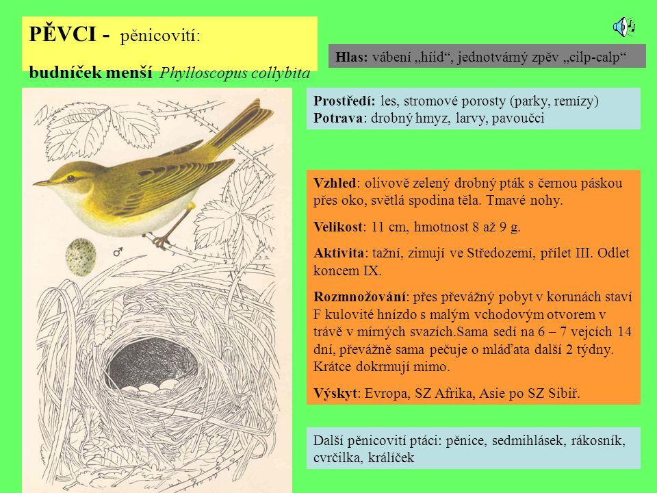 PĚVCI - pěnicovití: budníček menší Phylloscopus collybita