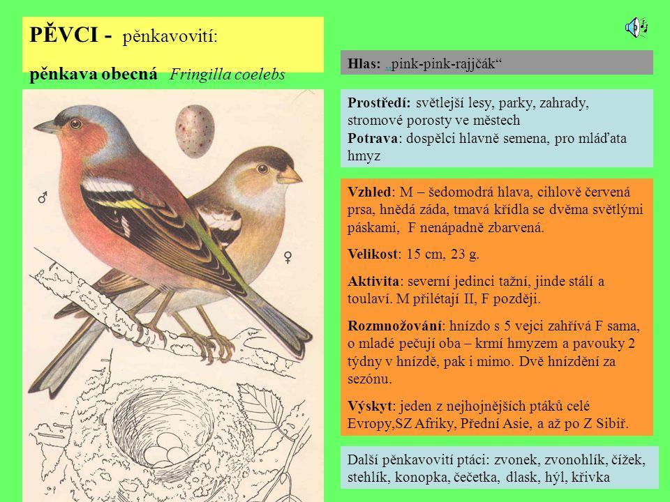 PĚVCI - pěnkavovití: pěnkava obecná Fringilla coelebs