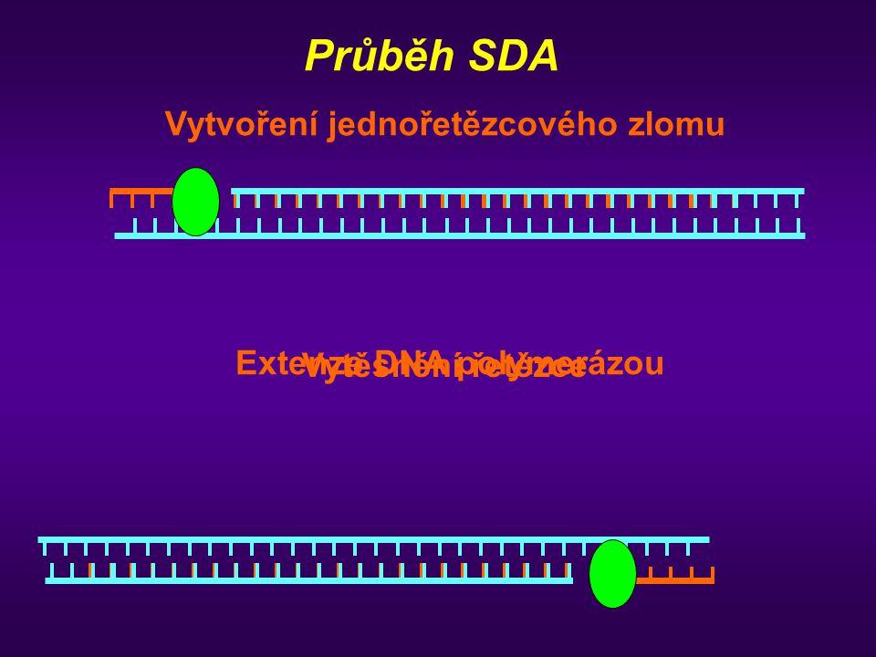 Vytvoření jednořetězcového zlomu Extenze DNA polymerázou