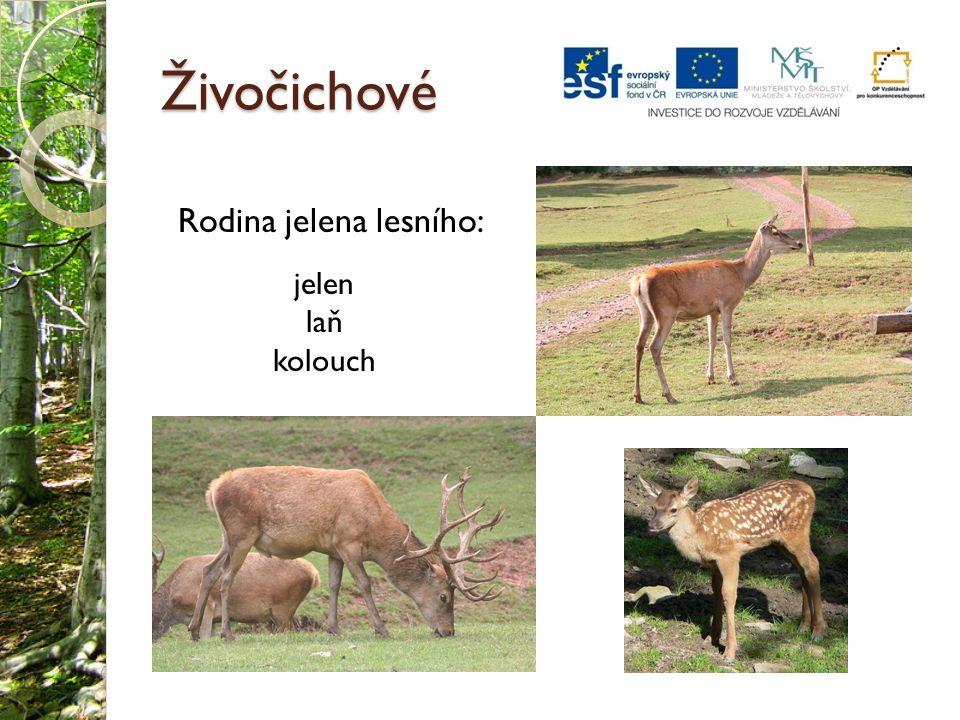 Živočichové Rodina jelena lesního: jelen laň kolouch