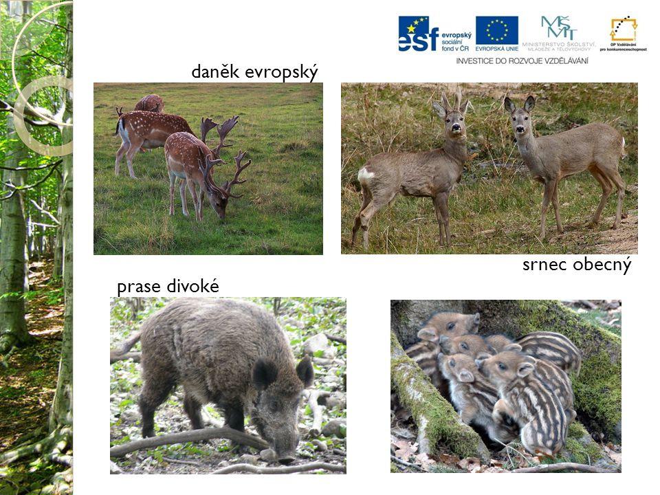 daněk evropský srnec obecný prase divoké