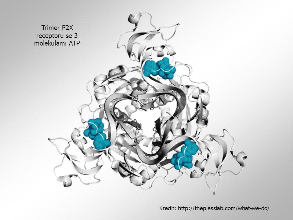 Trimer P2X receptoru se 3 molekulami ATP