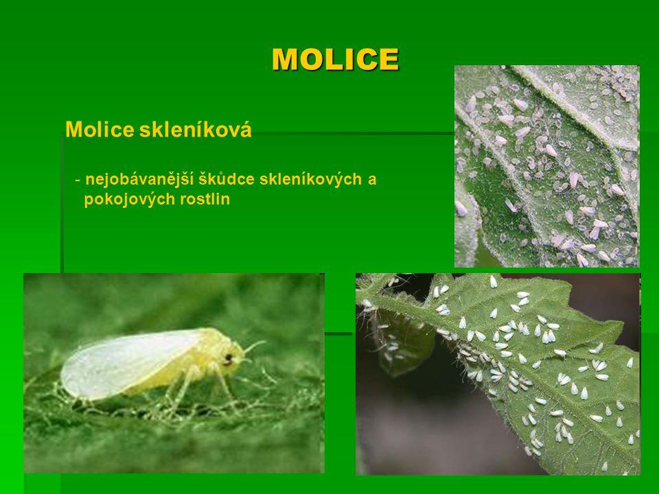 MOLICE Molice skleníková nejobávanější škůdce skleníkových a
