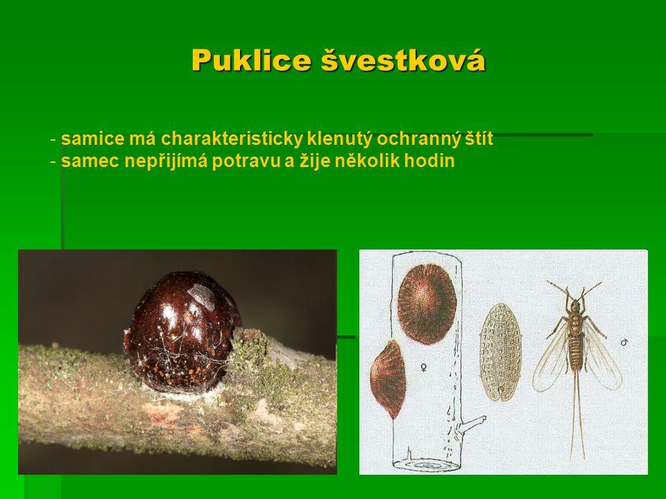 Puklice švestková samice má charakteristicky klenutý ochranný štít