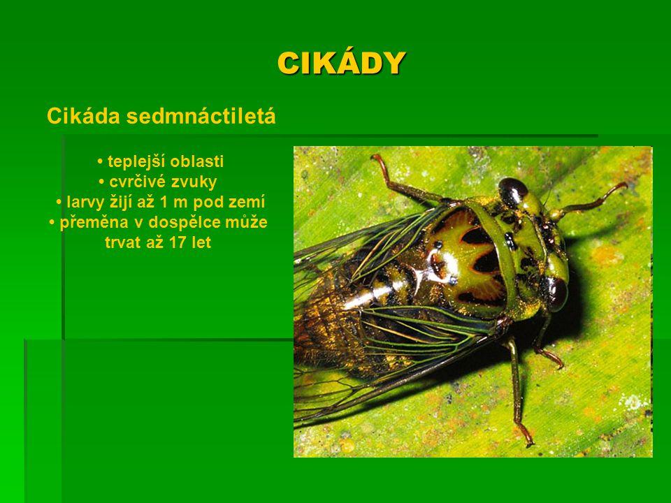 • larvy žijí až 1 m pod zemí • přeměna v dospělce může trvat až 17 let