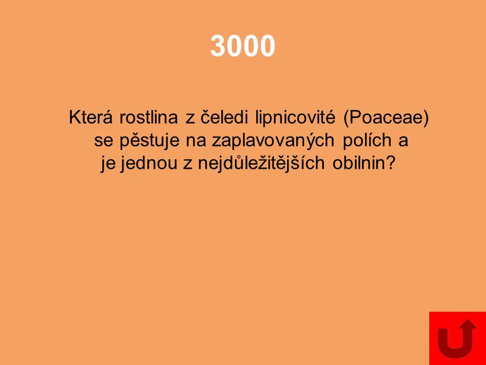 3000 Která rostlina z čeledi lipnicovité (Poaceae)