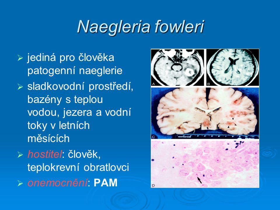 Naegleria fowleri jediná pro člověka patogenní naeglerie