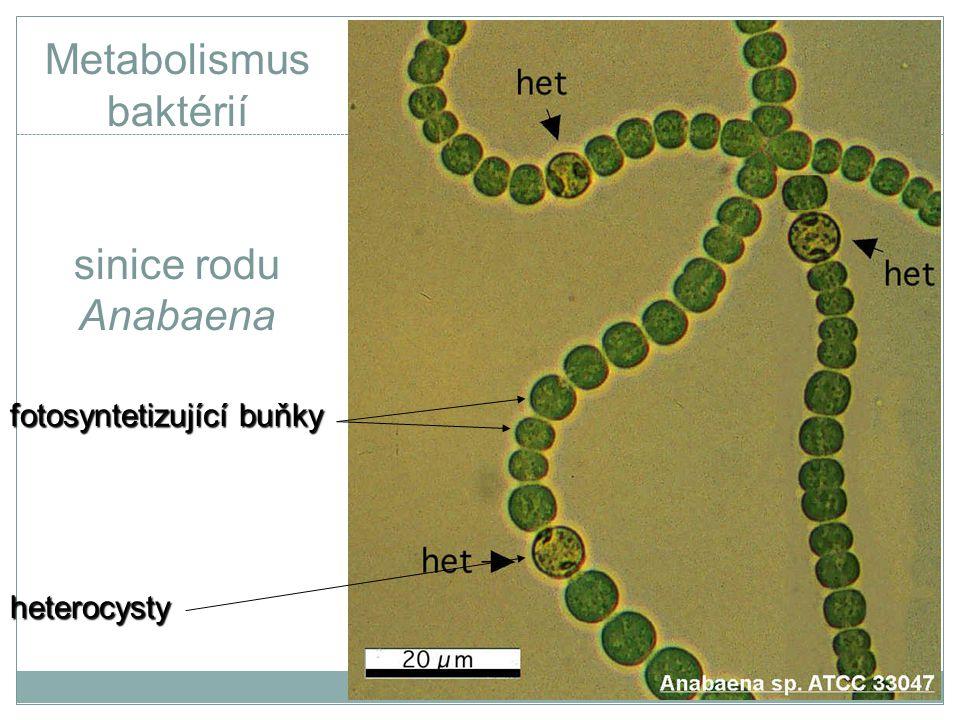 Metabolismus baktérií sinice rodu Anabaena