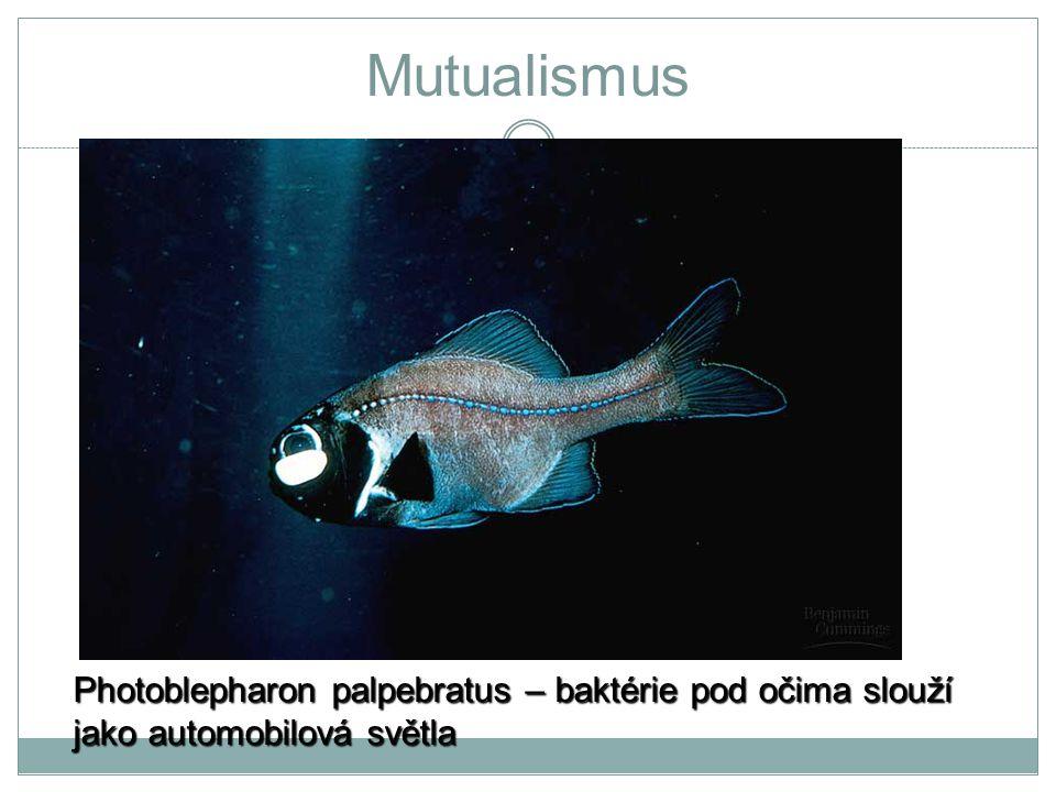 Mutualismus Photoblepharon palpebratus – baktérie pod očima slouží jako automobilová světla