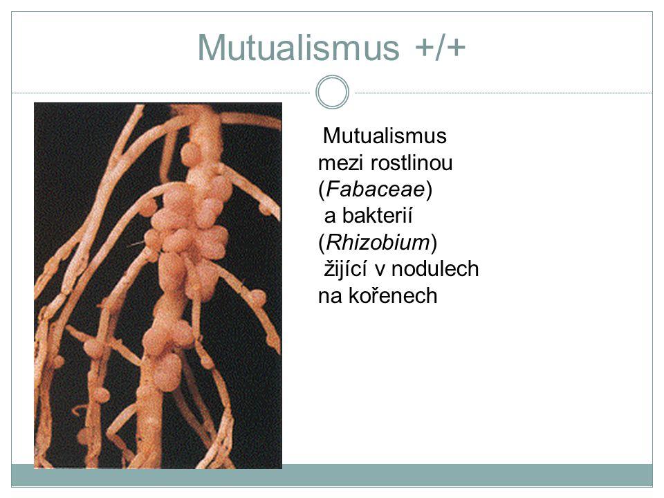 Mutualismus +/+ Mutualismus mezi rostlinou (Fabaceae) a bakterií (Rhizobium) žijící v nodulech na kořenech.