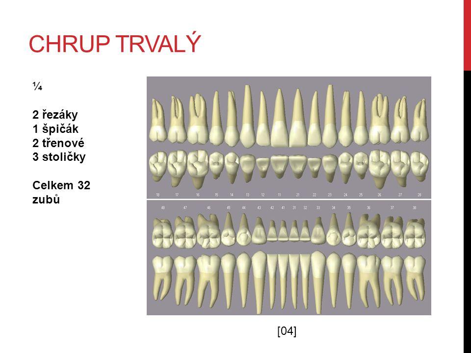 Chrup trvalý ¼ 2 řezáky 1 špičák 2 třenové 3 stoličky Celkem 32 zubů