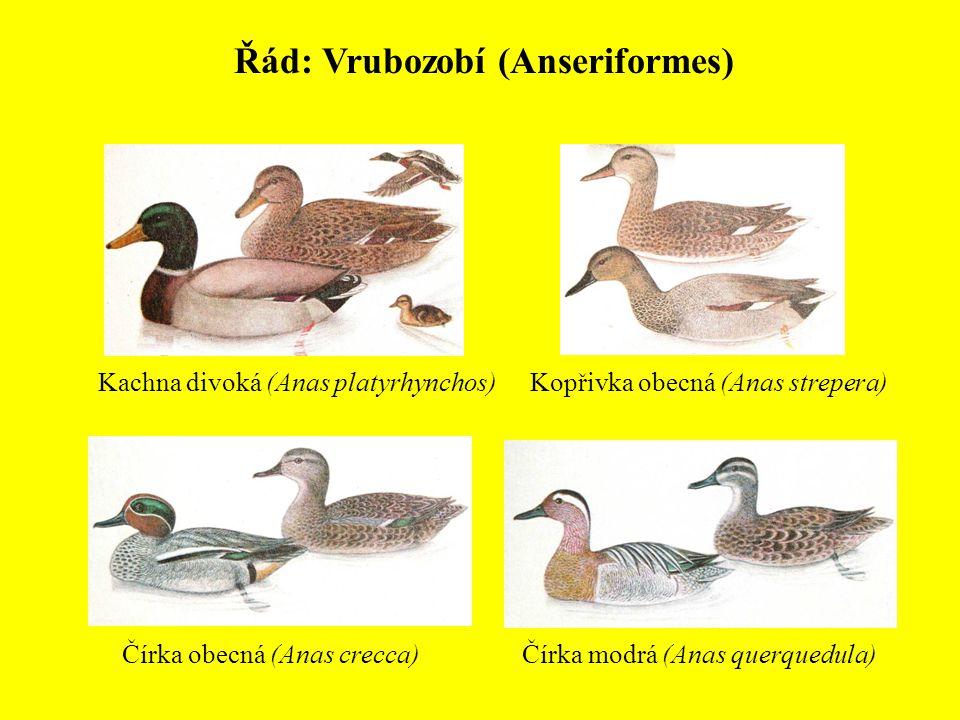 Řád: Vrubozobí (Anseriformes)