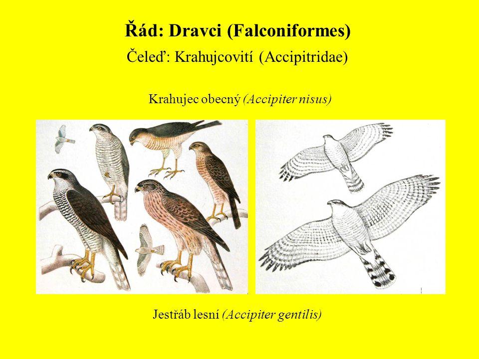 Řád: Dravci (Falconiformes)