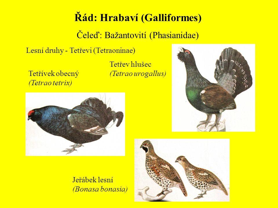 Řád: Hrabaví (Galliformes)