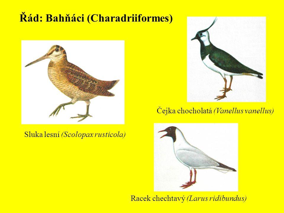 Řád: Bahňáci (Charadriiformes)