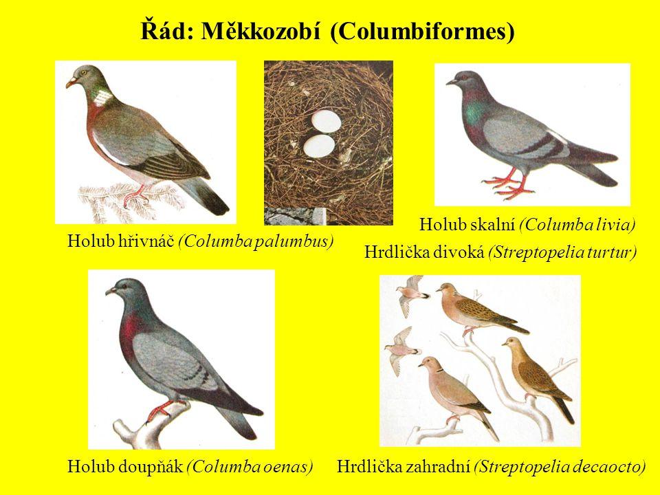 Řád: Měkkozobí (Columbiformes)
