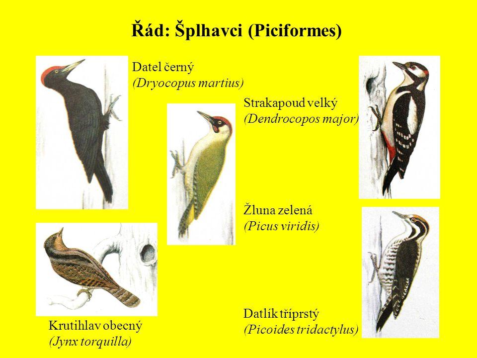 Řád: Šplhavci (Piciformes)