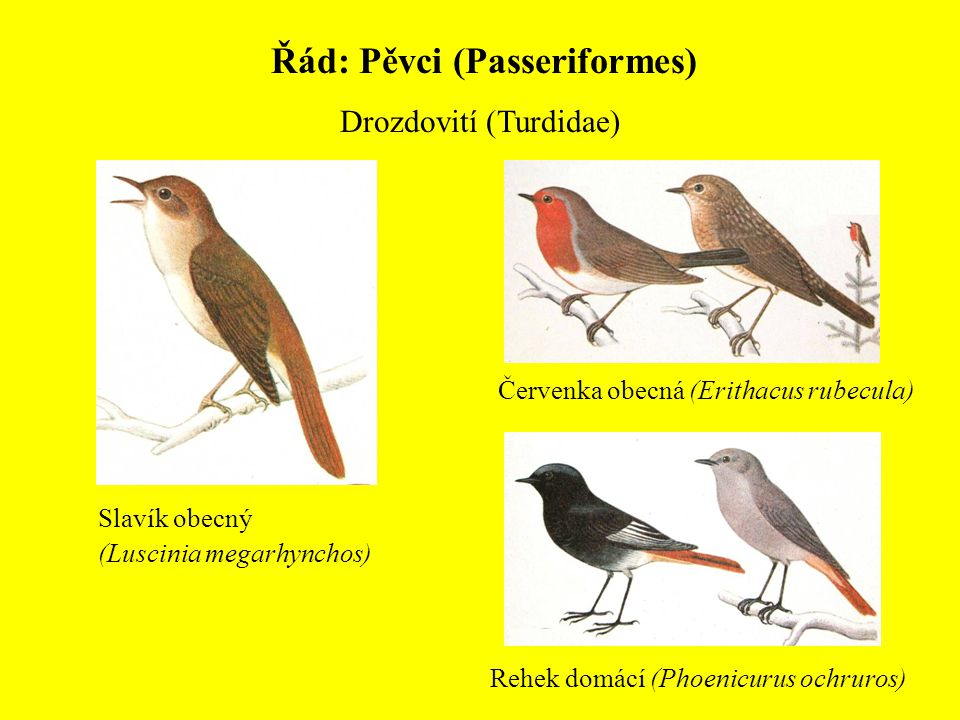 Řád: Pěvci (Passeriformes)