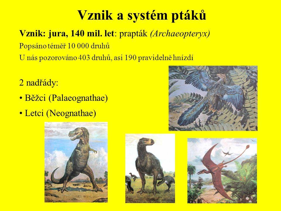 Vznik a systém ptáků Vznik: jura, 140 mil. let: prapták (Archaeopteryx) Popsáno téměř 10 000 druhů.