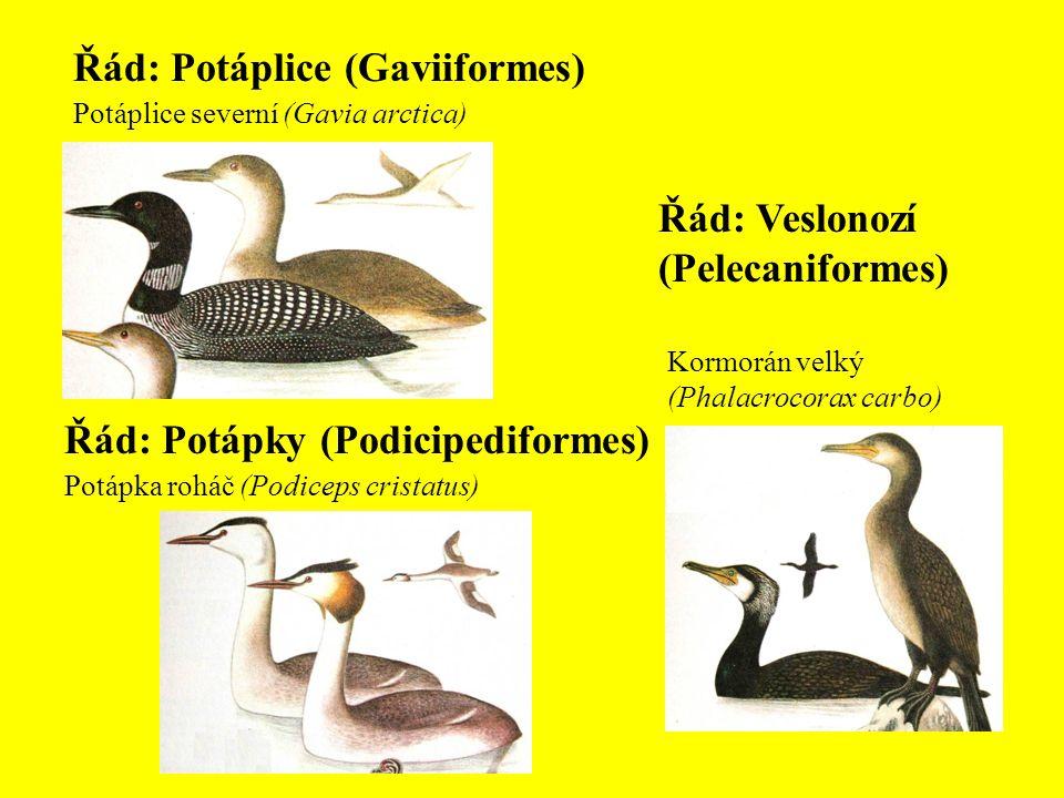 Řád: Potáplice (Gaviiformes)