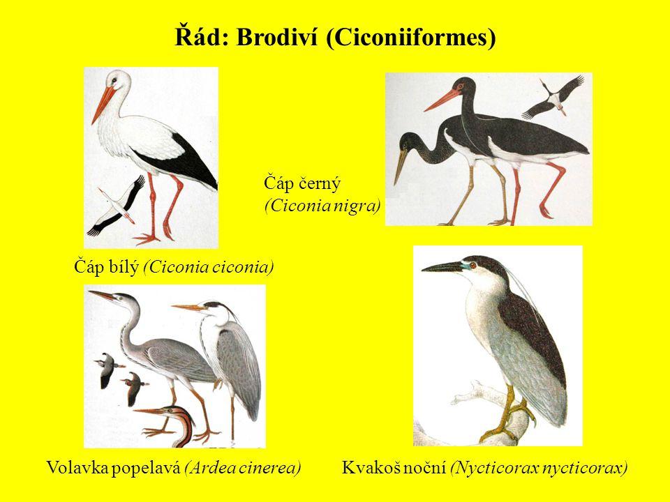Řád: Brodiví (Ciconiiformes)