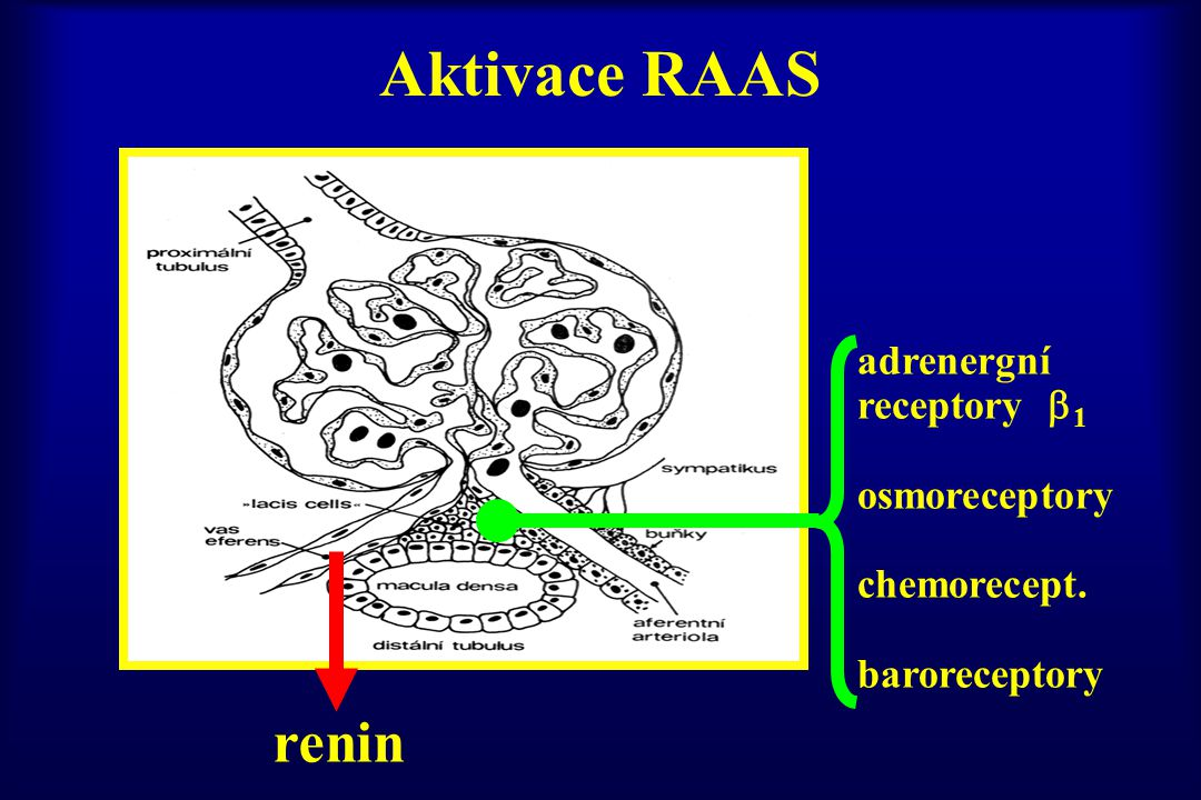 Aktivace RAAS renin adrenergní receptory 1 osmoreceptory chemorecept.