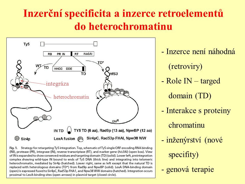 Inzerční specificita a inzerce retroelementů do heterochromatinu