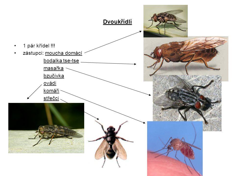 Dvoukřídlí 1 pár křídel !!! zástupci: moucha domácí bodalka tse-tse