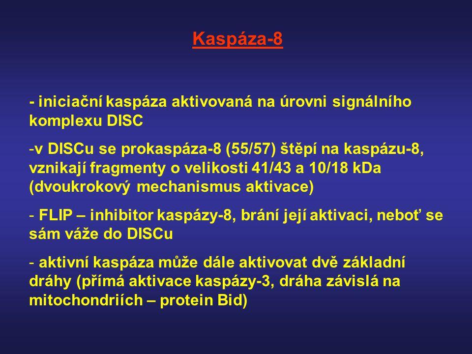 Kaspáza-8 - iniciační kaspáza aktivovaná na úrovni signálního komplexu DISC.