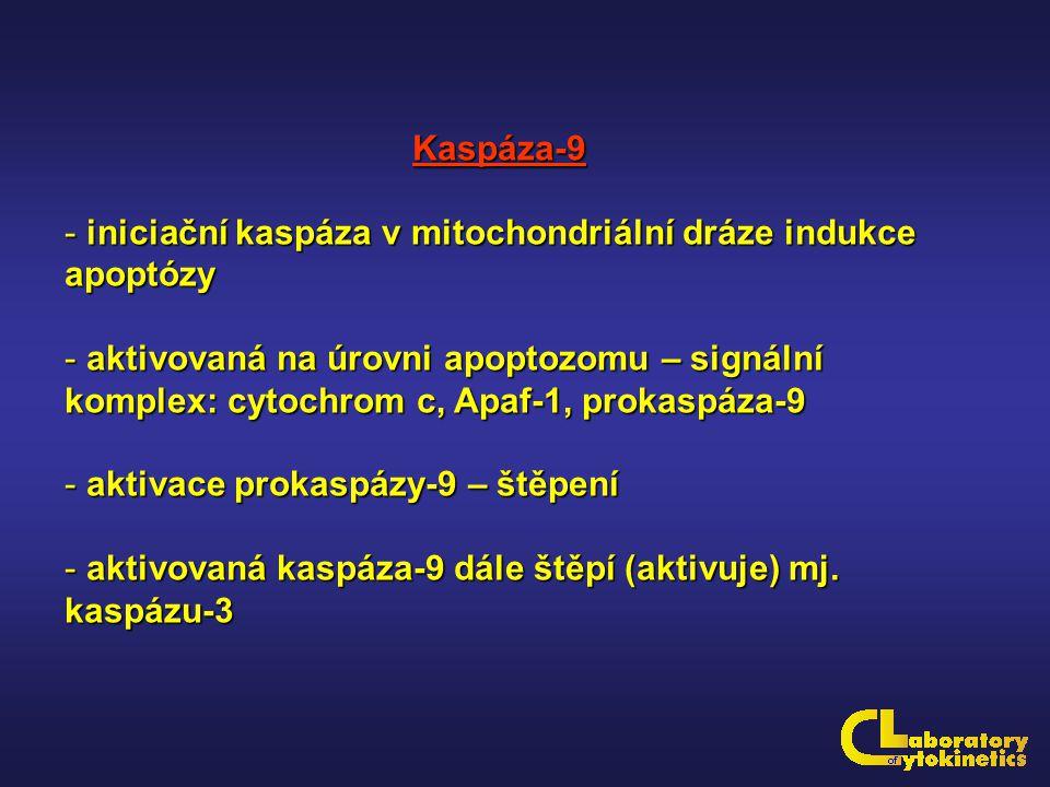 Kaspáza-9 iniciační kaspáza v mitochondriální dráze indukce apoptózy.