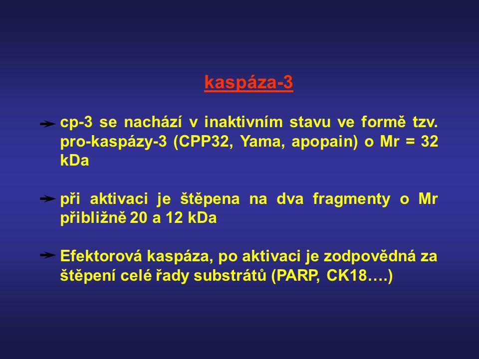 kaspáza-3 cp-3 se nachází v inaktivním stavu ve formě tzv. pro-kaspázy-3 (CPP32, Yama, apopain) o Mr = 32 kDa.
