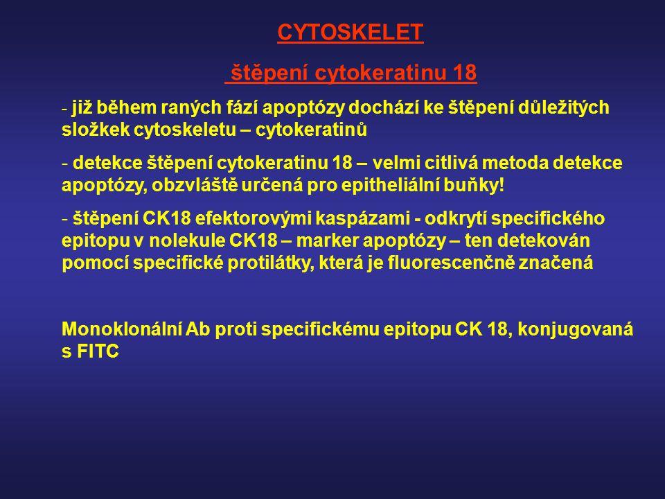 CYTOSKELET štěpení cytokeratinu 18