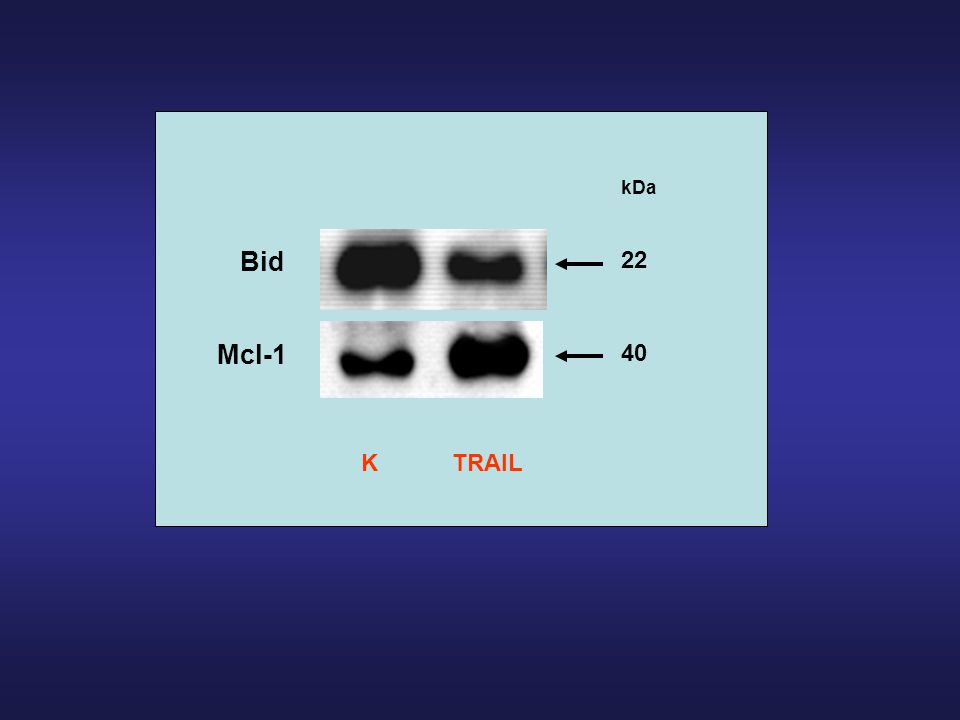 kDa Bid 22 Mcl-1 40 K TRAIL