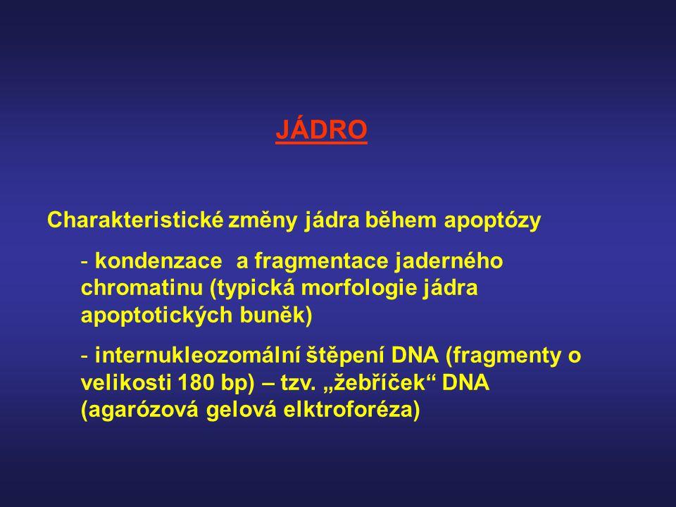 JÁDRO Charakteristické změny jádra během apoptózy