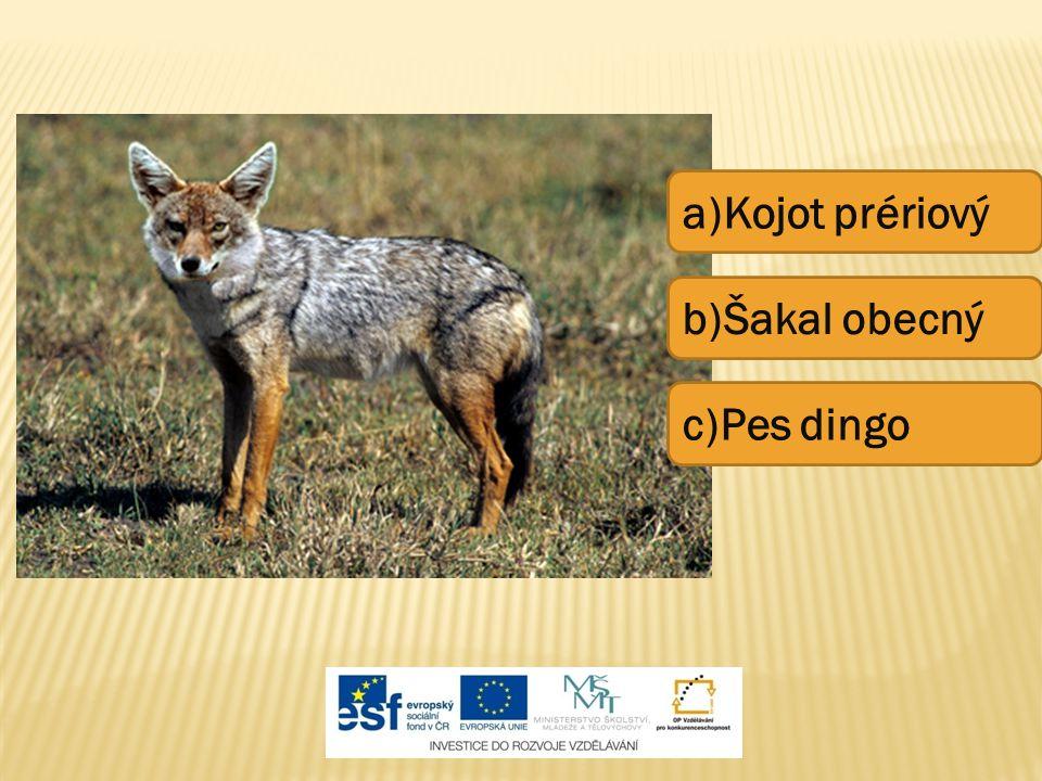 a)Kojot prériový b)Šakal obecný c)Pes dingo