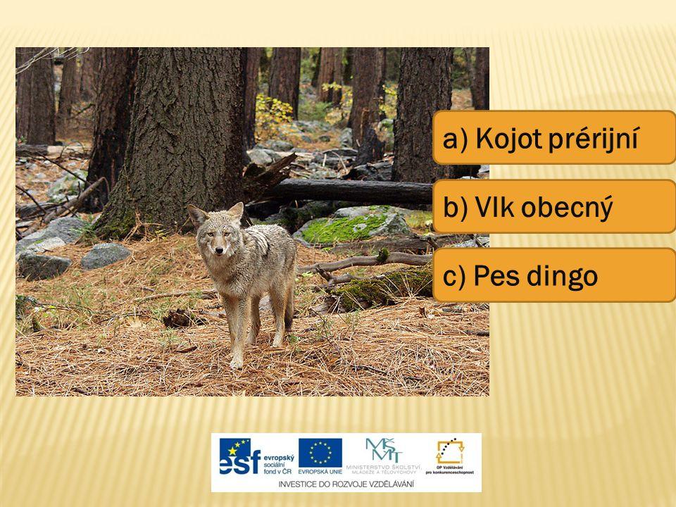 a) Kojot prérijní b) Vlk obecný c) Pes dingo