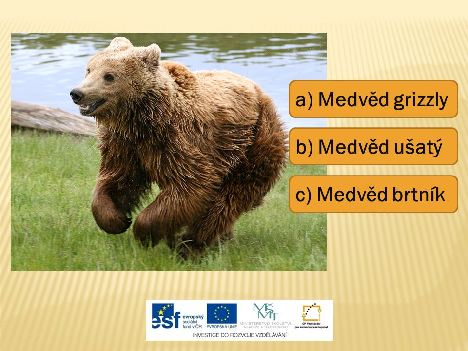 a) Medvěd grizzly b) Medvěd ušatý c) Medvěd brtník
